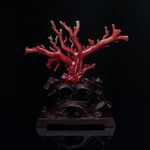 阿卡正紅珊瑚原枝擺件